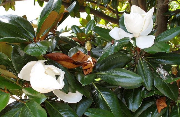 magnolia potatura