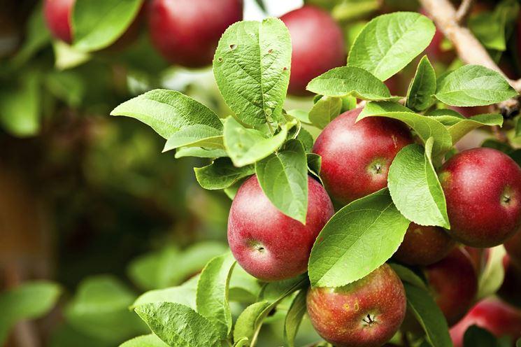 Frutti albero melo