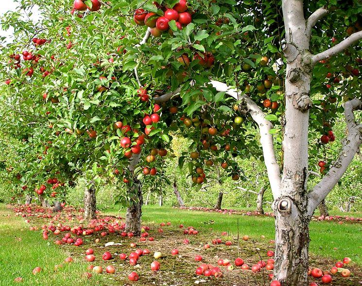 Potatura melo potatura potare pianta mele for Potatura del melo