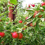 potare il melo