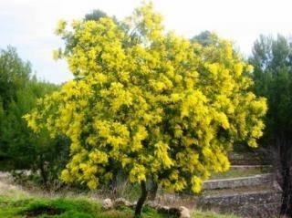 potatura mimosa