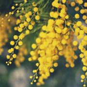 Potatura mimosa potatura for Mimosa in vaso