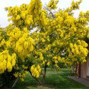 albero mimosa