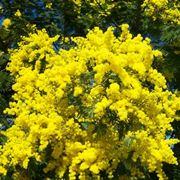 pianta di mimosa