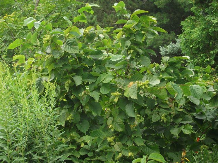 Potatura nocciolo potatura potare pianta nocciole for Pianta nocciolo prezzo