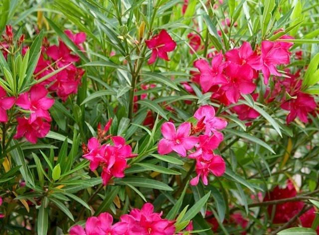Oleandro piante da giardino for Potatura piante da giardino