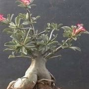oleandro albero