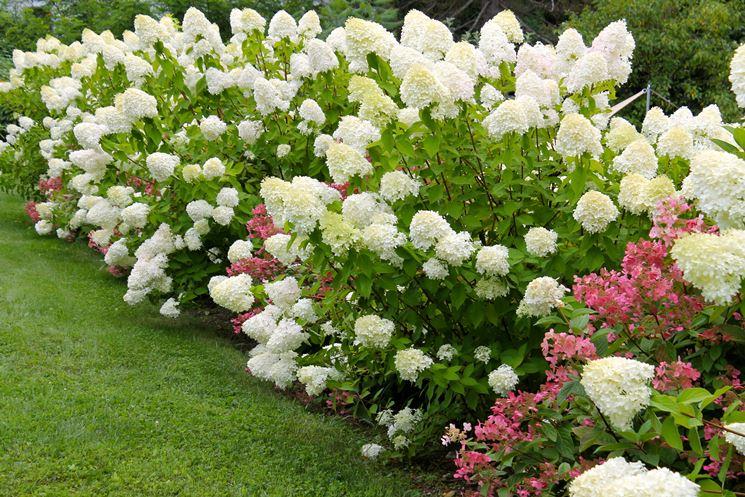 Ortensie fiore