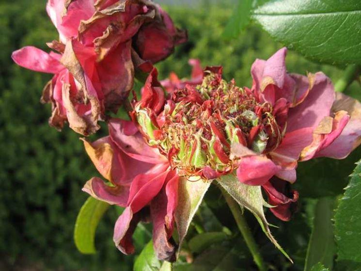 Parassiti piante fiorite