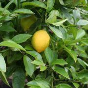 quando potare limone