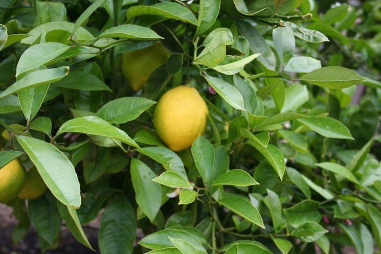 quando potare il limone potatura potatura limoni