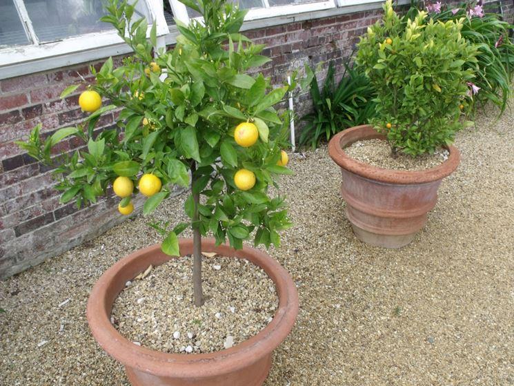 Quando potare il limone potatura potatura limoni for Limoni in vaso