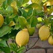 limone in vaso