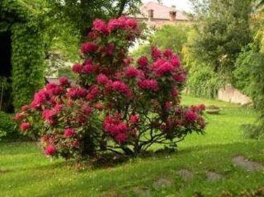 rododendropotatura