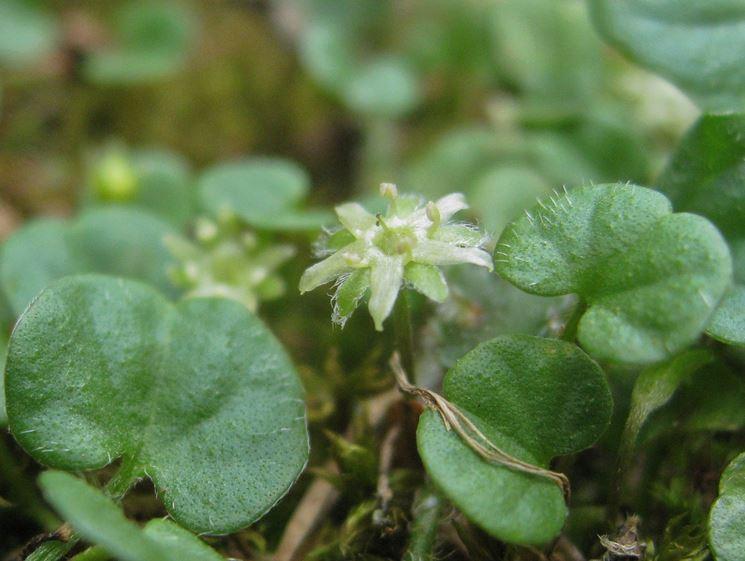 Fiore di Dichondra repens