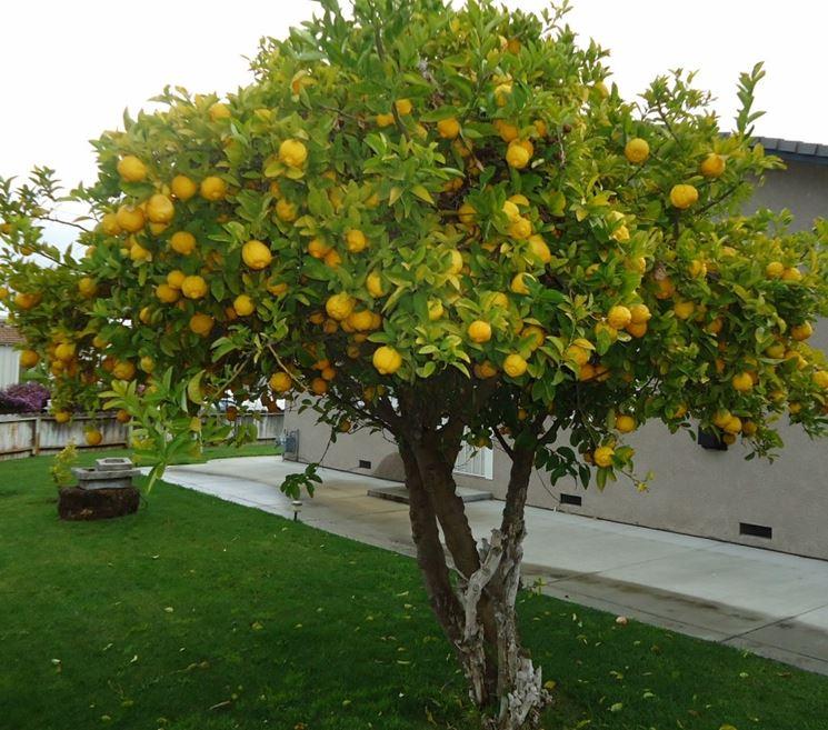 Pianta di limoni in un giardino