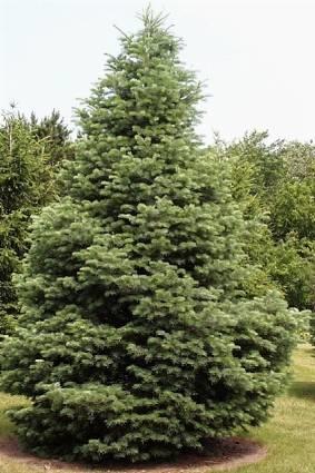 Abete bianco abies concolor alberi for Gli alberi sempreverdi