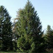 abete albero