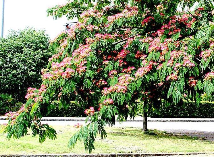 Esempio di acacia adianthifolia