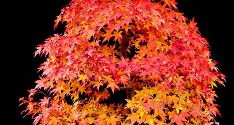 Esempio bonsai di acero campestre.