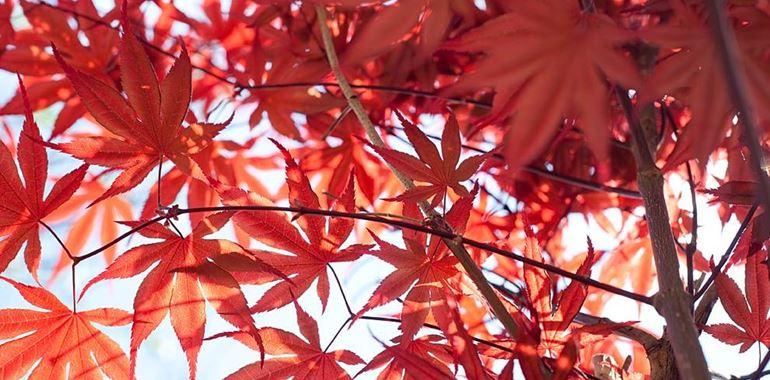 <h6>Acero campestre</h6>Un approfondimento completo sulle caratteristiche e sulla coltivazione dell'Acero campestre.