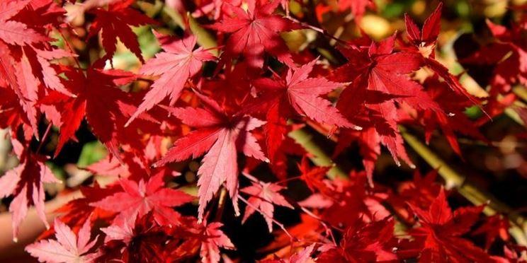 foglie acero rosso