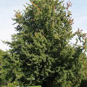 albero d acero