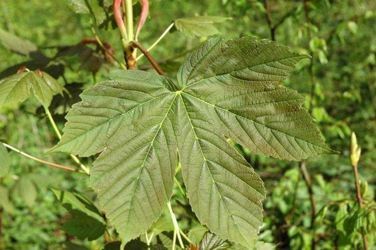 acer pseudoplatanus, particolare delle foglie