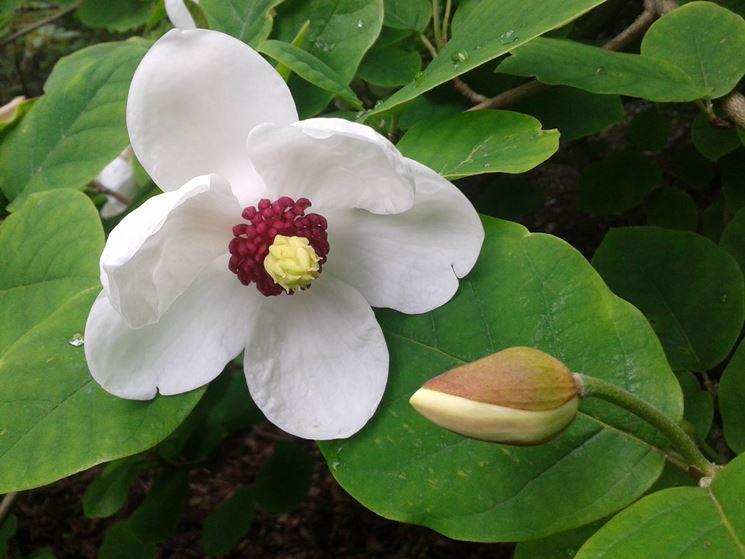 magnolia sinensis, fiore
