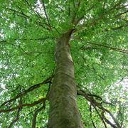 alti alberi dalle foglie ovali