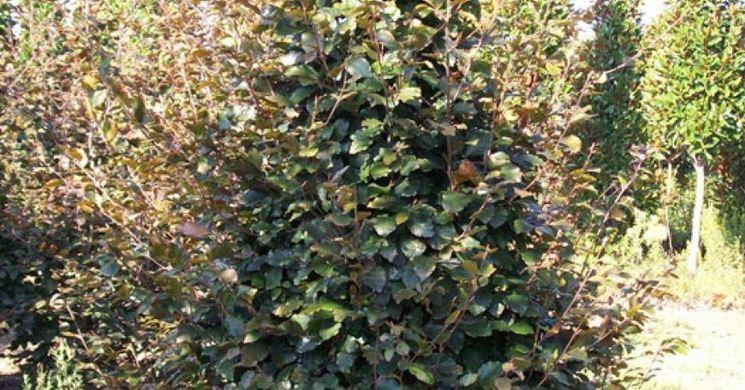 Alberi caducifoglie alberi cartteristiche alberi for Skimmia pianta