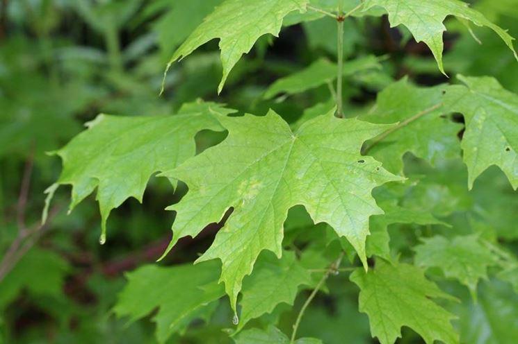 Alberi caducifoglie alberi cartteristiche alberi for Alberi da ombra a crescita rapida