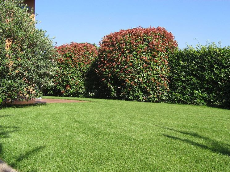 Alberi da ombra alberi scegliere gli alberi da ombra - Albero sempreverde da giardino ...