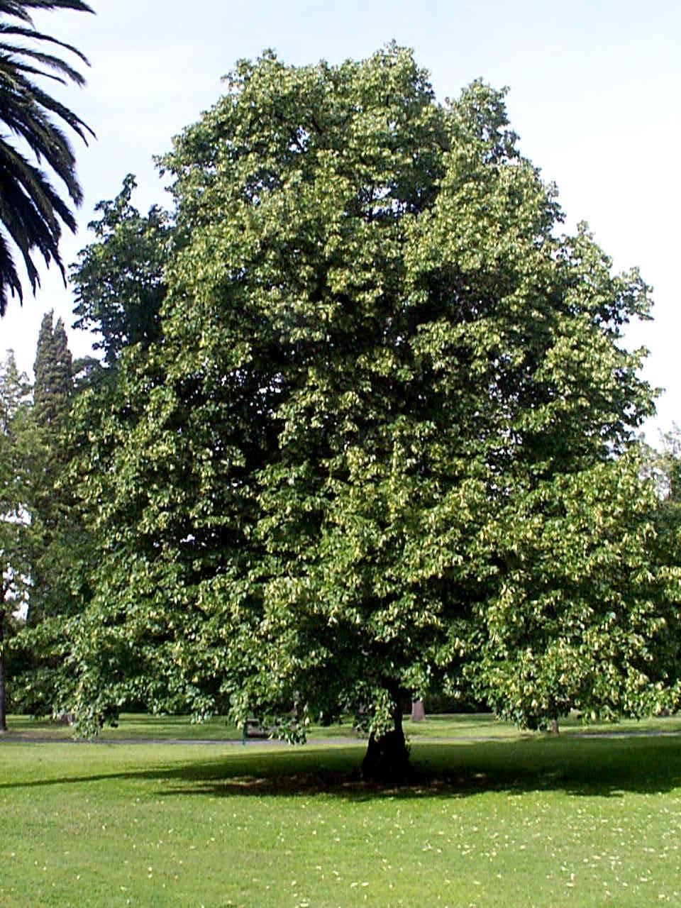 Alberi da ombra alberi scegliere gli alberi da ombra - Alberi da giardino consigli ...