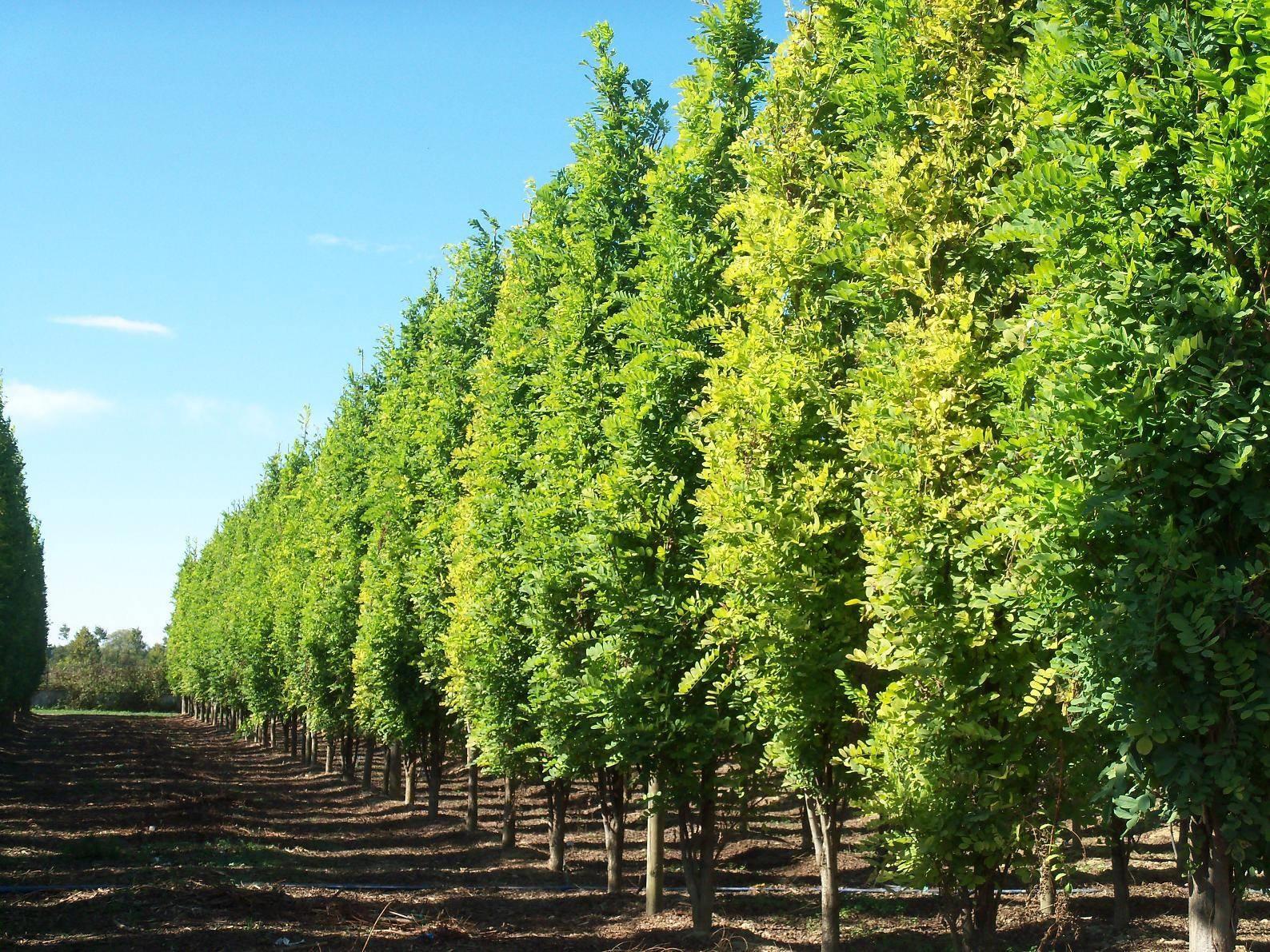 Alberi da ombra alberi scegliere gli alberi da ombra - Piante e alberi da giardino ...