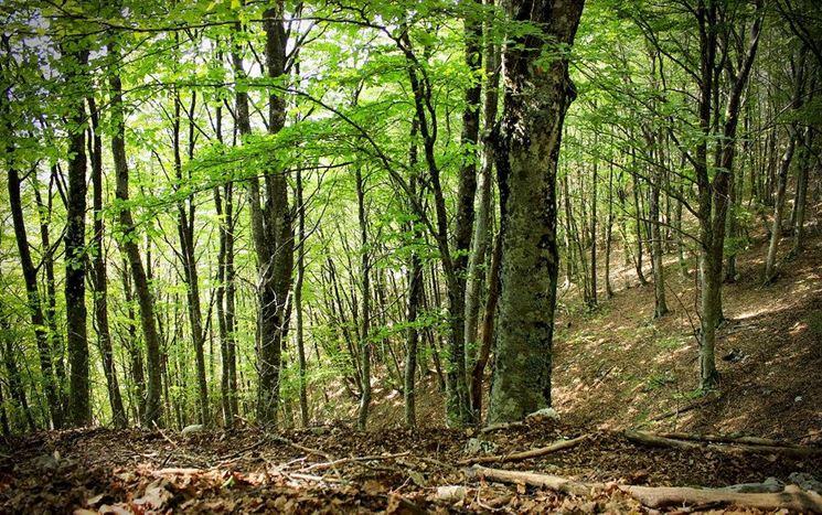 Una foresta di faggi