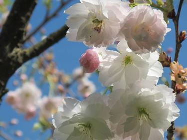 Un Prunus Tai-Haku
