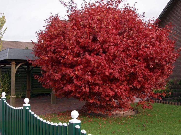 Alberi giapponesi alberi il giardino di alberi giapponesi for Acero rosso canadese prezzo