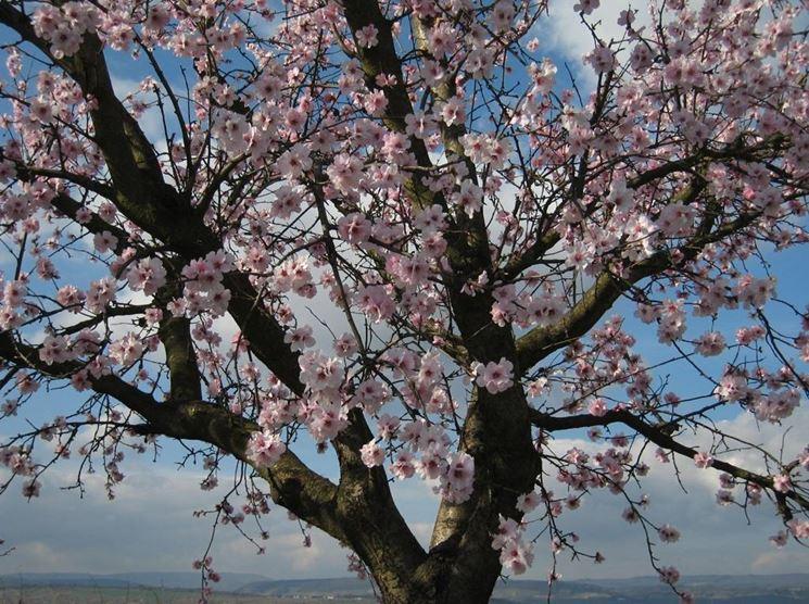 Un Prunus dulcis in fiore