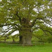 Alberi secolari: quercia