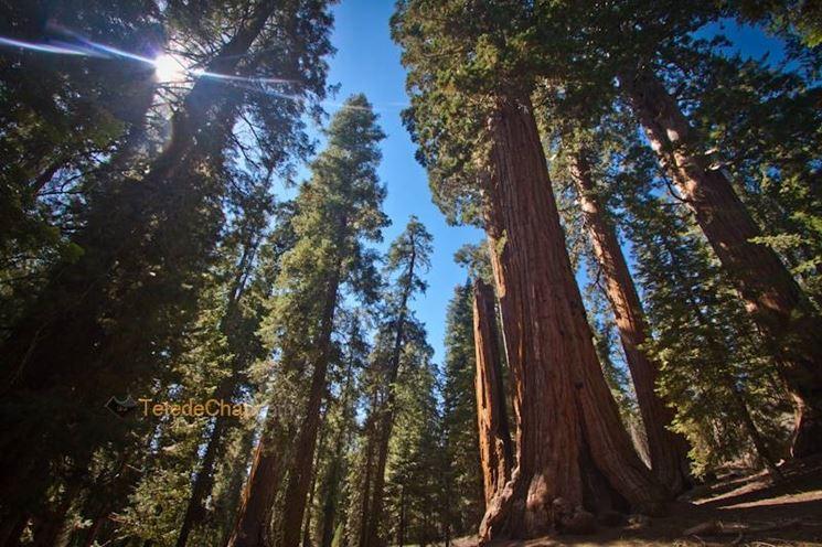 Alberi secolari: sequoia