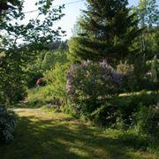 alberi da giardino sempreverdi
