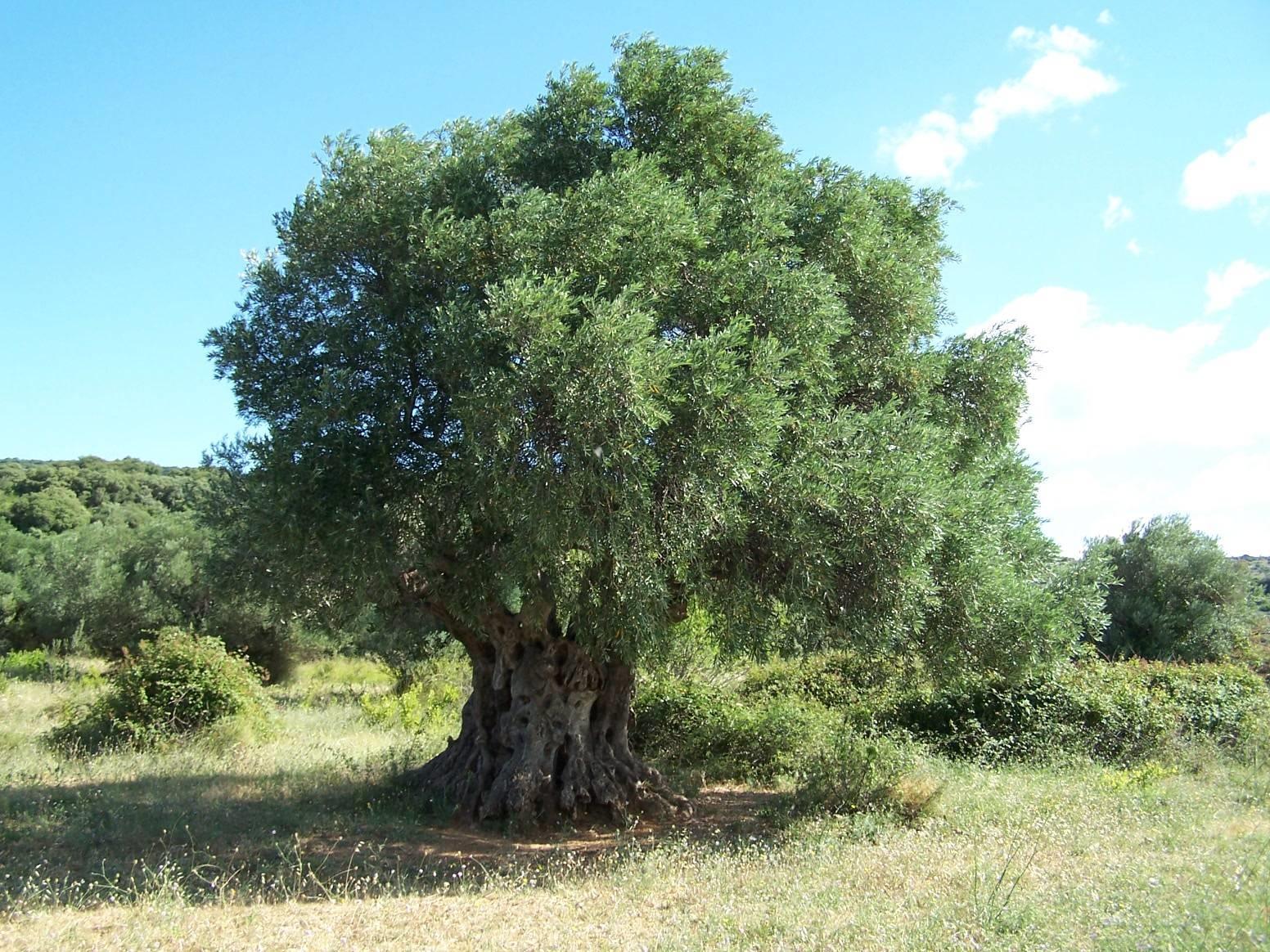 Alberi sempreverdi da giardino alberi sempreverdi per - Sempreverde da giardino ...