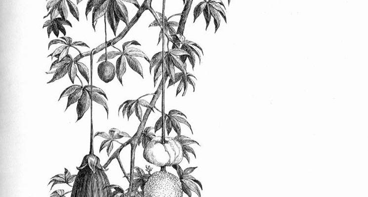 disegno botanico dei frutti dell'adansonia digitata