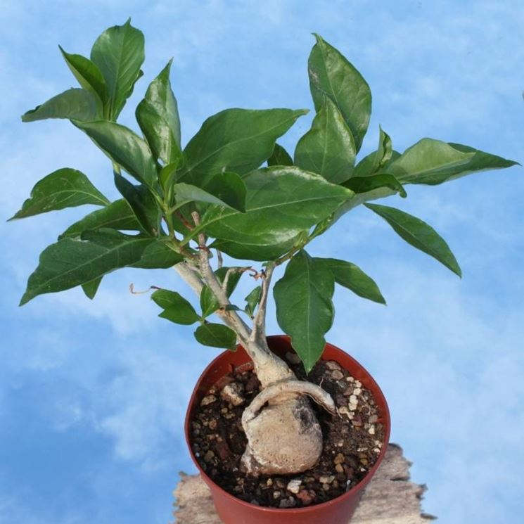 albero di baobab in vaso