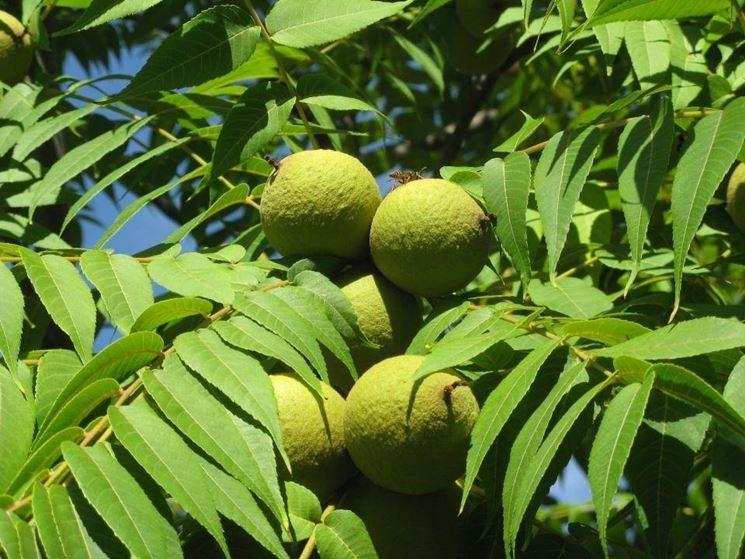 Frutto dell'albero del paradiso