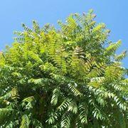 l albero del paradiso