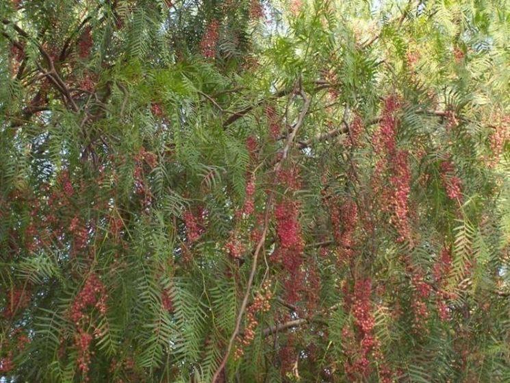 albero del pepe alberi albero del pepe