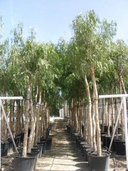 Albero del pepe alberi albero del pepe - Prezzi alberi da giardino ...