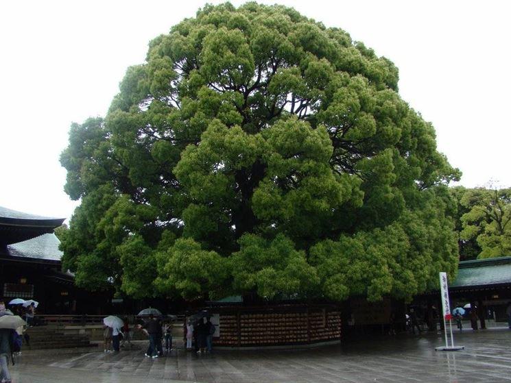 albero della canfora